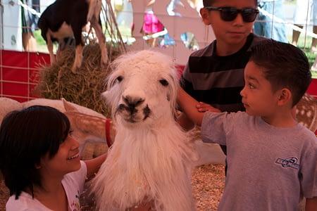 Petting Zoo llamas kids