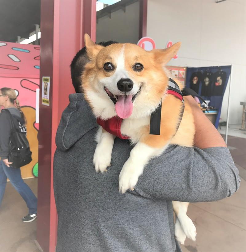 happy pembroke welsh corgi dog sitting on owners shoulders