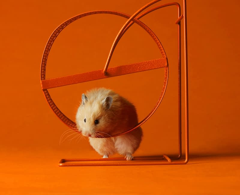 Golden hamster in a running wheel