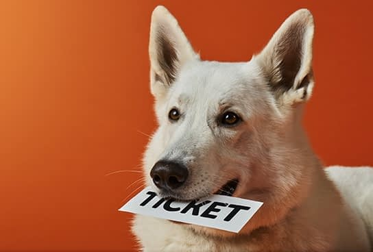 White shepherd dog with a ticket in the mount in front of an orange background