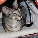 Cat Ambassador Cat Show